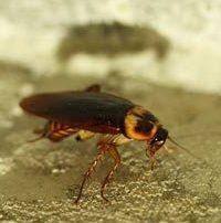 traitement préventif cafards blattes désinsectisation lutte contre les nuisibles algo3d