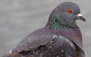 lutte contre les pigeons dépigeonnisation anti pigeon algo3d paris, 75, val de marne, 94, seine et marne 77, yvelines,78,essonne ,91, hauts de seine, 92, seine aint denis, 93, val d'oise 95