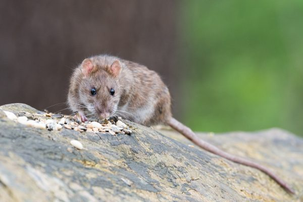 Rat brun-algo3d94-deratisation