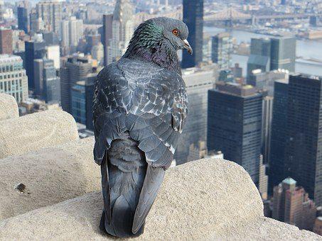 se d barrasser des pigeons algo3d paris expert en. Black Bedroom Furniture Sets. Home Design Ideas