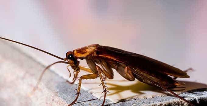 cafard-blattes-cuisine-algo3d-pest-control-desinsectidation-75-77-78-91-92-93-94-paris