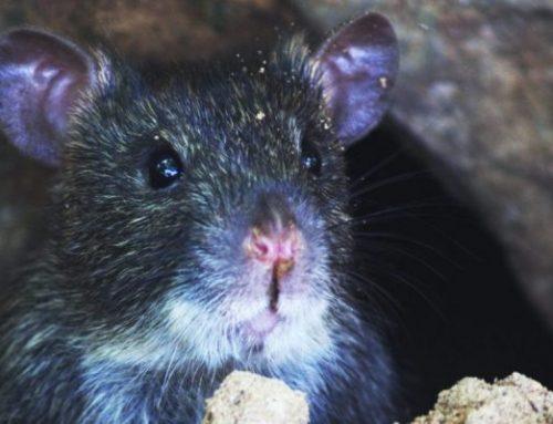 Comment détecter les rats?
