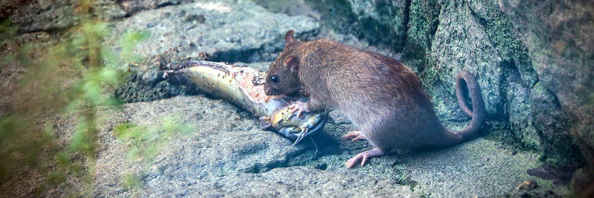 Comment se débarrasser des rats?
