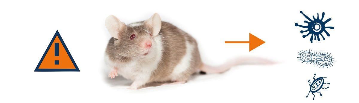 Les risques liés aux rats